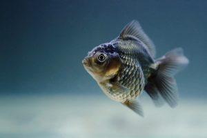 fish, carassius, veiltail
